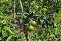 Cara Memilih Lokasi Menanam Jeruk Terbaik