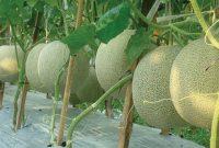 bibit melon unggul