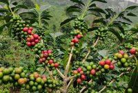 cara menanam kopi arabika