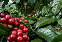 cara menanam kopi ateng bagi pemula