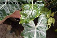 jenis tanaman alokasia yang mahal