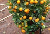 Cara Memilih Bibit Unggul Untuk Menanam Jeruk