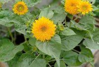 Tips menanam bunga matahari