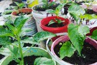 menanam sayur dalam pot