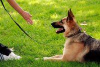 Cara Untuk Melatih Anjing Tiarap