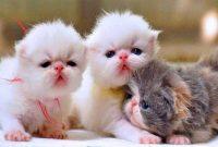 Cara Merawat Anak Kucing (Kitten)
