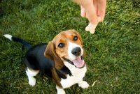 Panduan Lengkap Cara Melatih Anjing Menggonggong