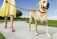 Melatih Anjing Berjalan Dengan Tali