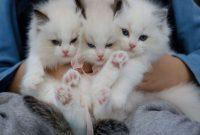 Tips Cara Merawat Kucing Anggora Dari Kecil Sampai Dewasa