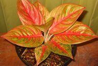 Jenis tanaman hias outdoor: Aglaonema