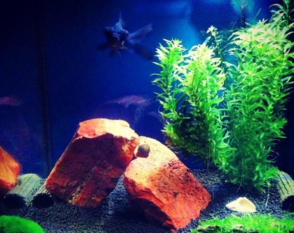 jenis tanaman air Elodea densa