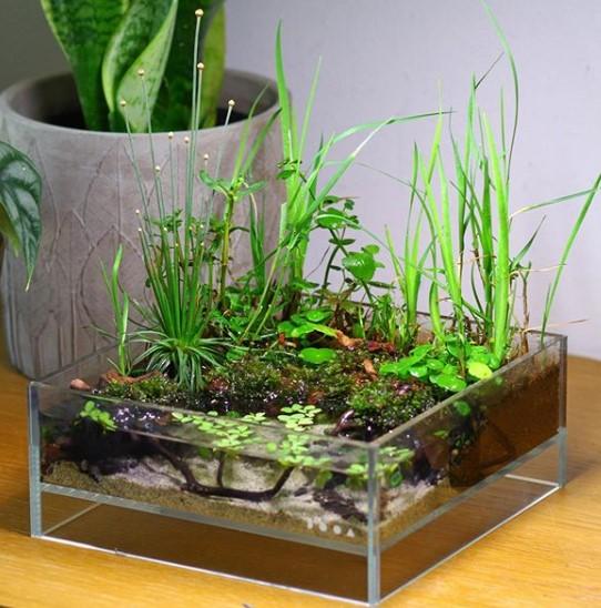 Jenis Tanaman Aquascape java moss