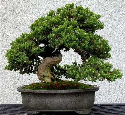 Jenis Tanaman Hias Batang bonsai