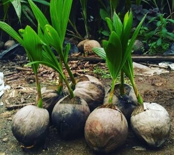 Pembenihan bibit kelapa genjah