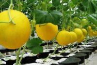 Buah hidroponik melon
