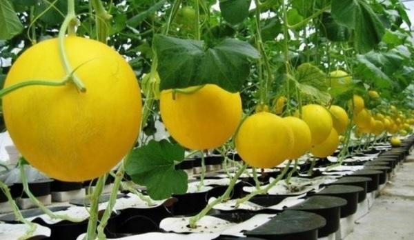 jenis tanaman Buah hidroponik melon