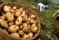 jenis Tanaman Pangan kentang dieng