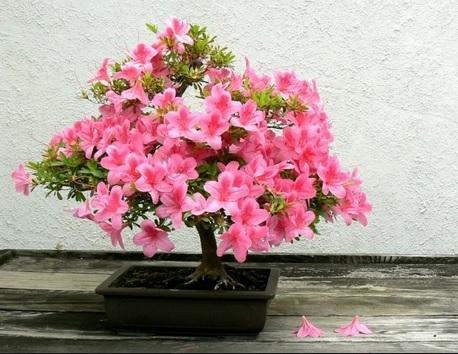 Tanaman bonsai Azalea