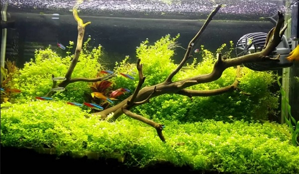 Tanaman bonsai aquascape