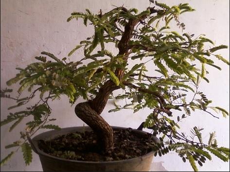 Tanaman bonsai asem jawa