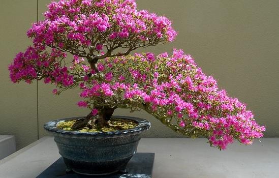 Tanaman bonsai bogenvil