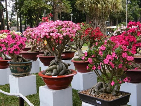 Tanaman bonsai kamboja