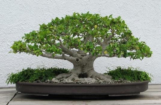 Tanaman bonsai serut