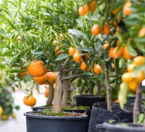 Tanaman buah jeruk