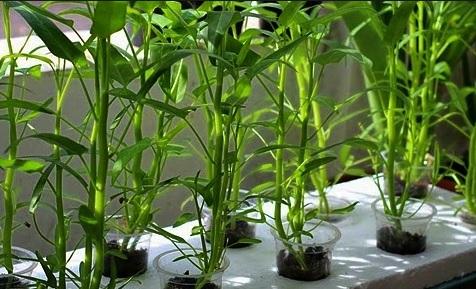 Jenis tanaman hidroponik kangkung