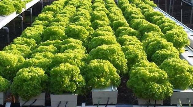 Jenis tanaman hidroponik selada