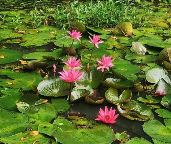 Jenis tanaman air Teratai