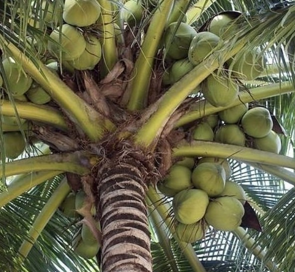 cara sukses pembenihan kelapa induk kelapa genjah