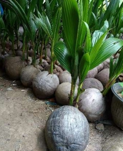 cara sukses pembenihan kelapa