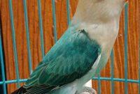 ciri Lovebird Fighter