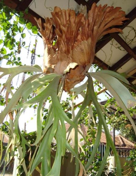Jenis tanaman hias outdoor: paku tanduk dan anggrek