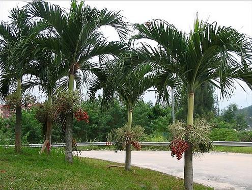 Jenis tanaman hias outdoor: palem
