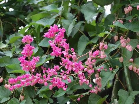 tanaman bunga air mata pengantin