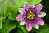 tanaman Passion flower