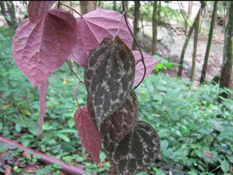 tanaman merambat daun surih merah