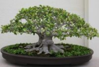 tips membuat bonsai beringin