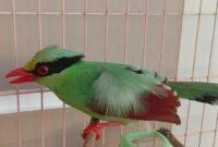 Burung Ekek Geling
