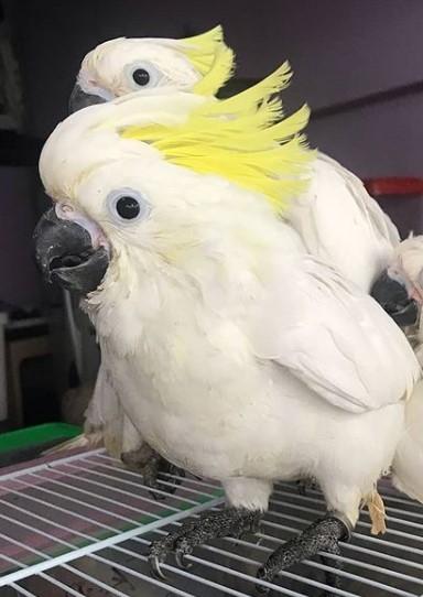 Burung Kakak Tua Raja Jambul Kuning