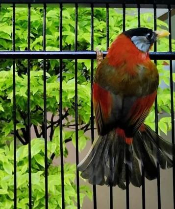 Perawatan Burung Panca Warna