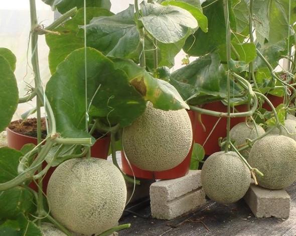 Cara Menanam Melon dari Biji