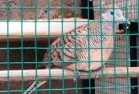 Cara Merawat Burung Perkutut