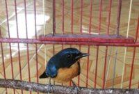 Cara Merawat Burung Tledekan