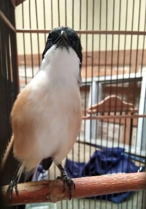 Burung Cendet Jawa Barat