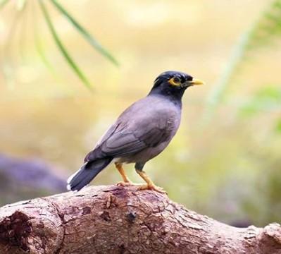 Merawat Burung Jalak Nias