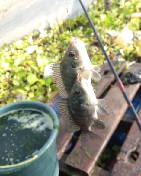 Teknik Memancing Ikan Nila
