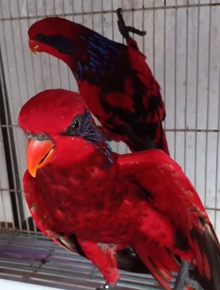 Perawatan Burung Nuri
